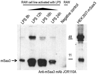 Western blotting studies of JOR110A