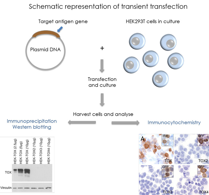 Schematic representation transient transfection